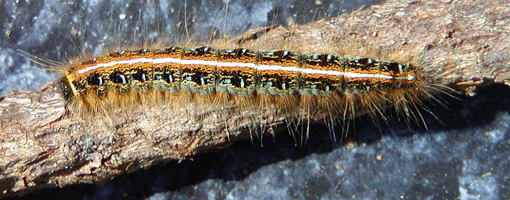 Eastern Tent Caterpillar (Malacosoma americana)