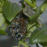 "Buckeye Caterpillar in ""J"" Shape"