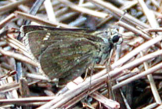 Female Whirlabout