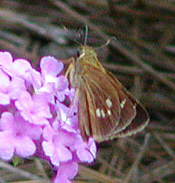 Female Yehl Skipper