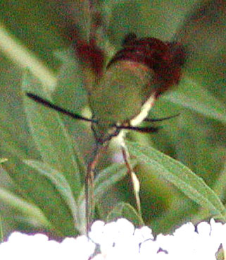 Hummingbird Clearwing (Hemaris thysbe)