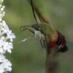Hummingbird Clearwing (Hemaris thysbe)