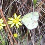 Little Yellow (Eurema lisa)