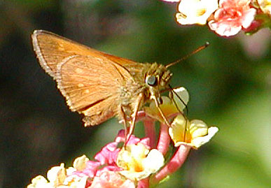Male Yehl Skipper