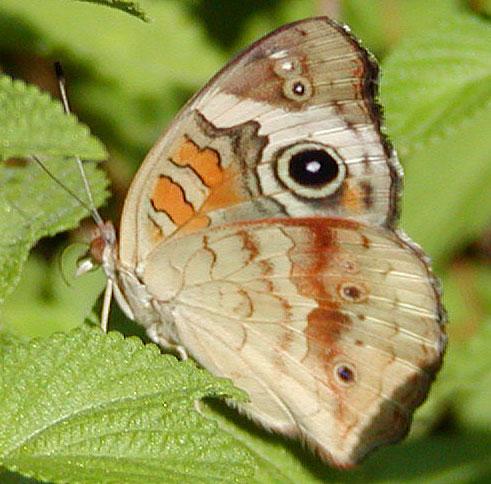 Buckeye Outer Wings
