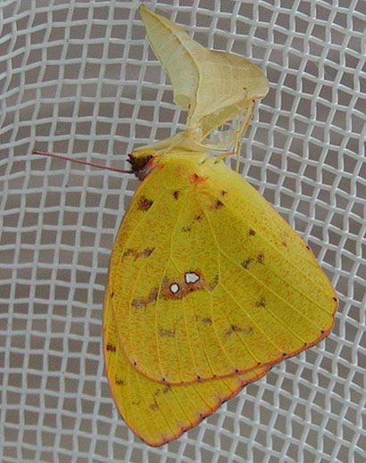 Newly Eclosed Female Cloudless Sulphur