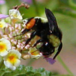 "Bumblebee with Orange ""Saddlebags"""