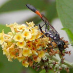 Thin Wasp with Orange Band