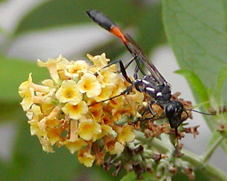 Thin Wasp with Orange Band