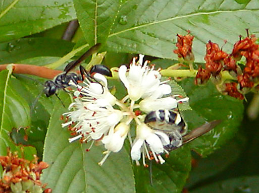 Two wasps on the Summersweet