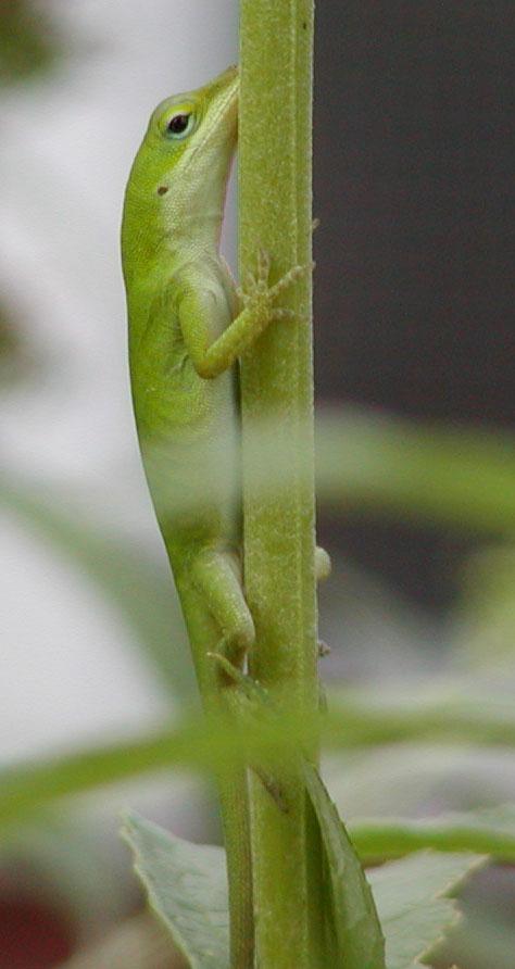 American Chameleon (Anolis carolinensis)