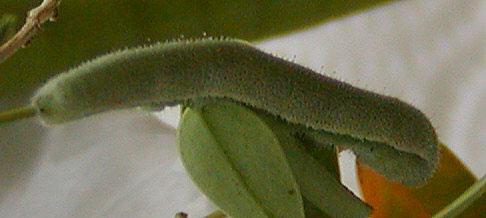 Older Sleepy Orange Caterpillar