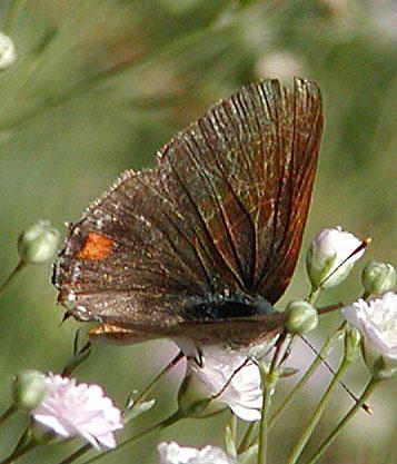 Gray Hairstreak Inner Wings