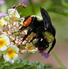 "Bumblebee with Orange ""Saddlebags"""