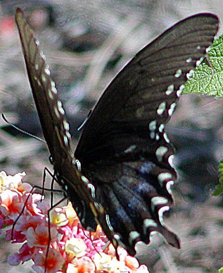Female Spicebush Swallowtail