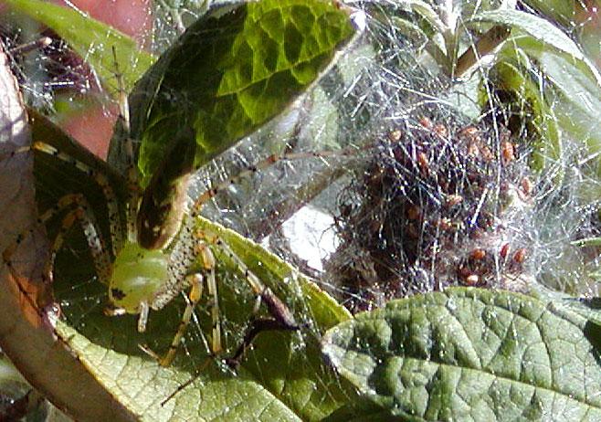 Spider mom